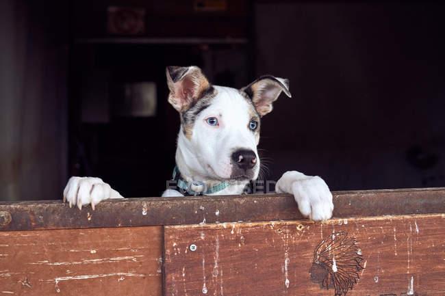 Filhote de collie fronteira com olhos azuis espiando a porta de madeira — Fotografia de Stock
