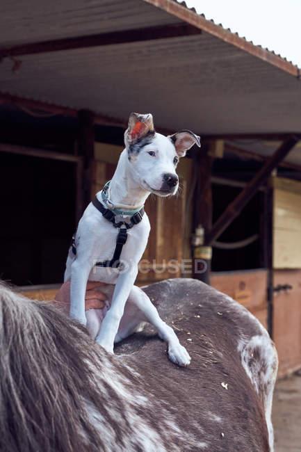 Cachorro de collie fronteira na parte de trás de um cavalo e olhando para o seu mestre — Fotografia de Stock