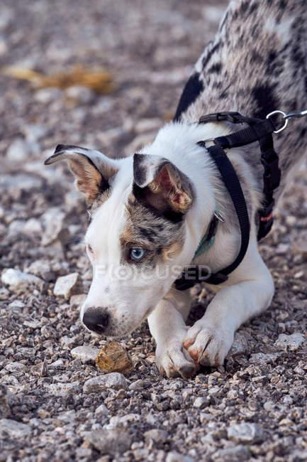 Chien cochonnet aux yeux bleus regardant un autre chien — Photo de stock