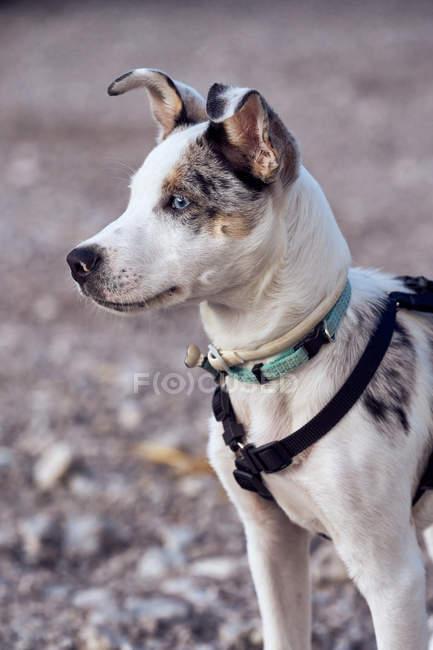 Filhote de collie fronteira com olhos azuis olhando para outro cão — Fotografia de Stock