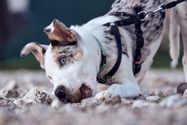 Filhote de collie fronteira com olhos azuis brincando com uma pedra no jardim de sua casa amarrado com a coleira — Fotografia de Stock