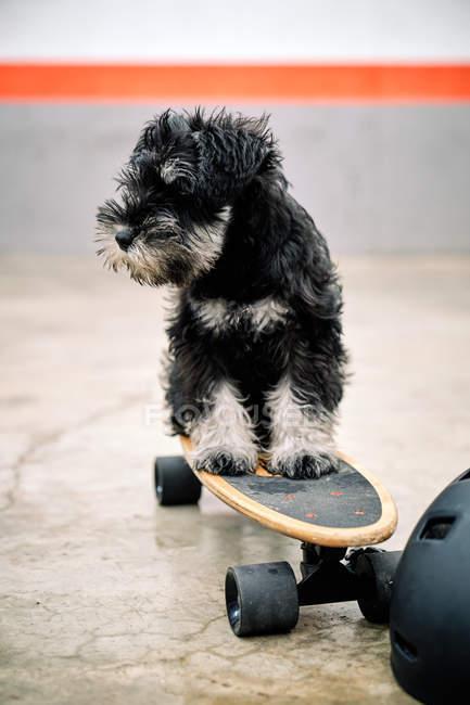 Divertente adorabile Yorkshire Terrier cucciolo seduto sullo skateboard accanto al casco su terreno di cemento — Foto stock