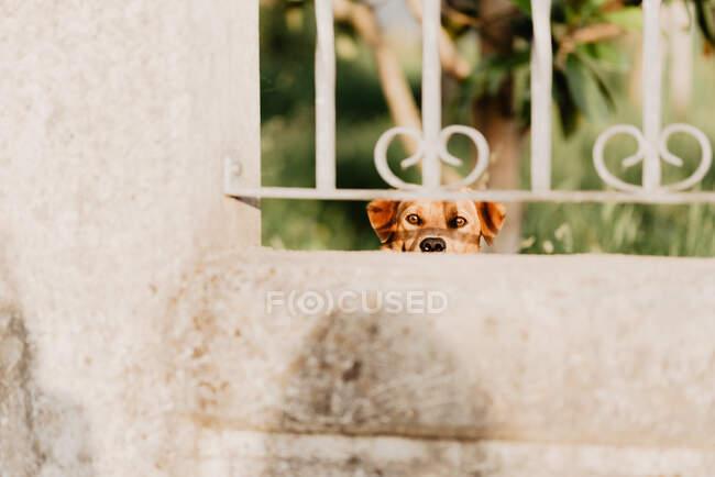 Curioso perro mirando a través de valla de metal - foto de stock