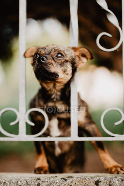 Cute curious little dog standing behind metal fence in yard and putting head between bars looking away — Stock Photo