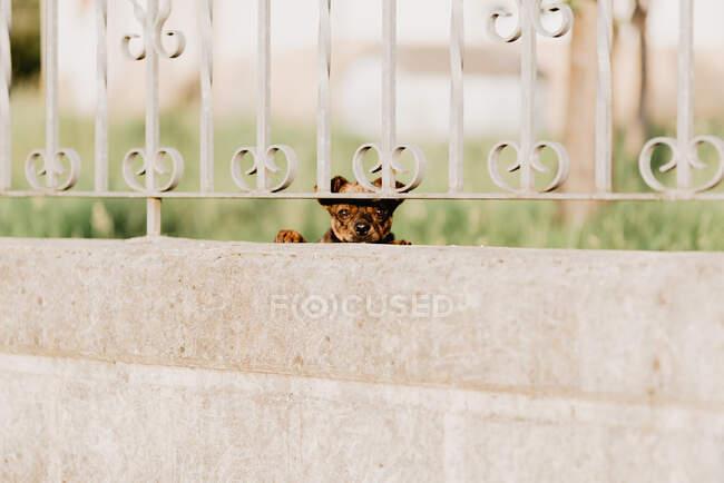 Любопытная собака смотрит сквозь металлический забор — стоковое фото