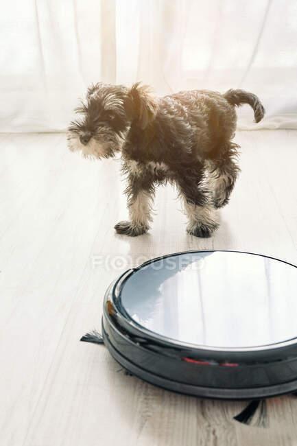 Вид сверху на симпатичную маленькую собачку, стоящую на светлом деревянном полу рядом с дружелюбной к домашним животным роботизированной уборщицей — стоковое фото