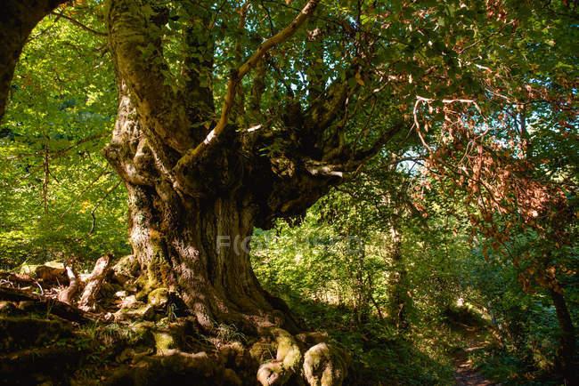 Vista pittoresca di forte albero vecchio con tronco spesso e radici sporgenti da terra — Foto stock