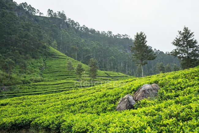 Scenic view of wonderful of green tea fields in Haputale in Sri Lanka — Stock Photo