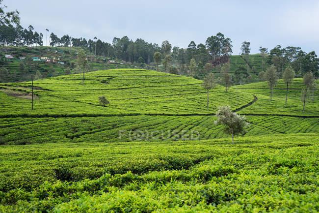 Прекрасный вид на зеленые чайные поля в Хапутале на Шри-Ланке — стоковое фото