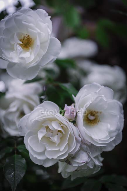 Gros plan roses blanches douces — Photo de stock