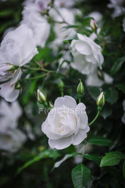 Close-up soft white roses — Stock Photo