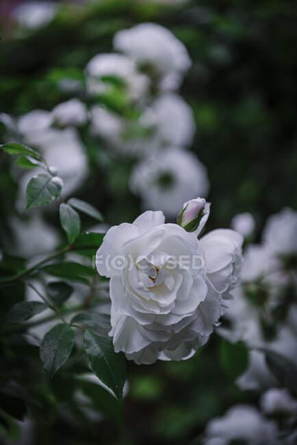 Крупный план мягкие белые розы — стоковое фото