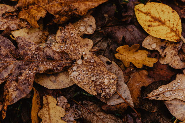 Close-up of fallen leaves with droplets of water after rain in autumn forest — Stock Photo