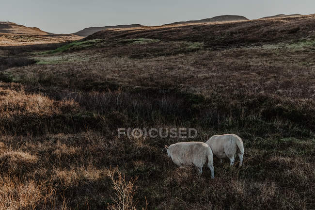 Back view of calm white sheep standing in countryside against mountains at sunrise — Foto stock
