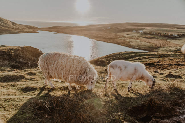 Sheep grazing on grass in countryside against mountains near small lake — Stock Photo