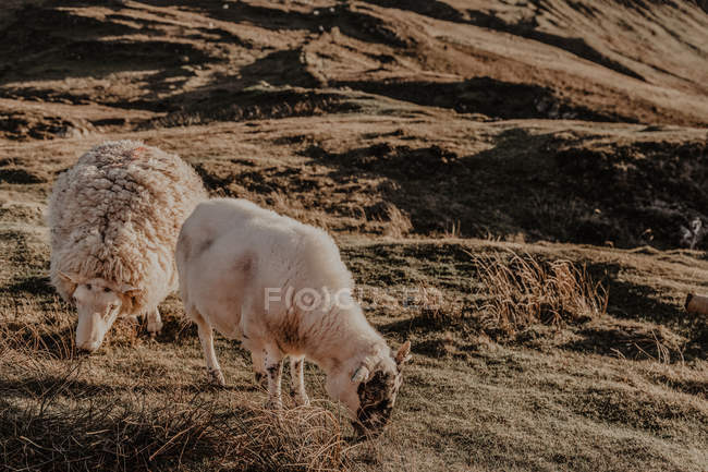 Sheep grazing on green grass in countryside mountains — Stock Photo