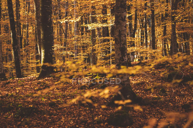 Magical landscape of golden autumnal foliage of trees in forest — Stock Photo
