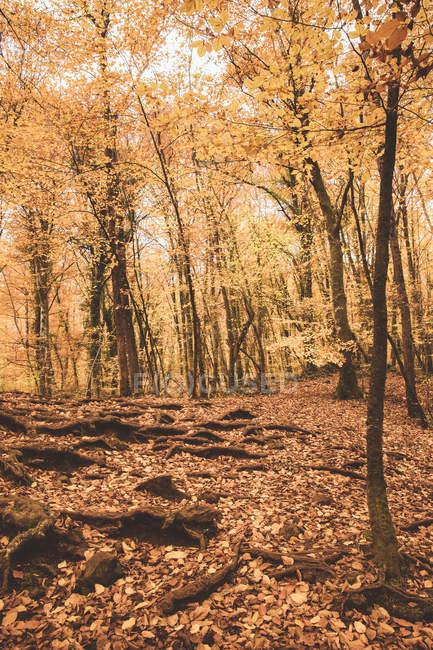 Paesaggio incredibile di alberi e fogliame dorato che copre il terreno e le radici in soleggiato autunno diurno — Foto stock