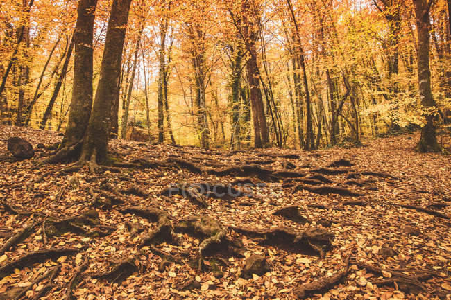 Amazing scenery of trees and golden foliage covering ground and roots in sunny autumn daytime — Stock Photo