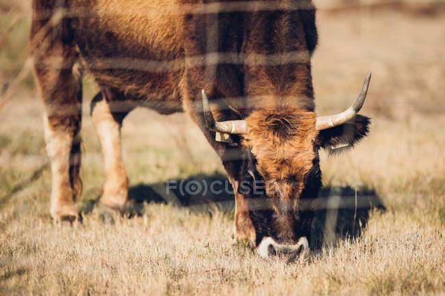 Hermosa vaca marrón pastando detrás de la cerca de alambre en el pasto en verano - foto de stock