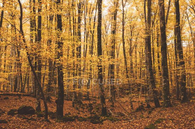Волшебный пейзаж золотой осенней листвы деревьев в лесу — стоковое фото