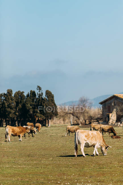 Scenery of grazing domestic cattle on green pasture at farm in summertime — Stock Photo