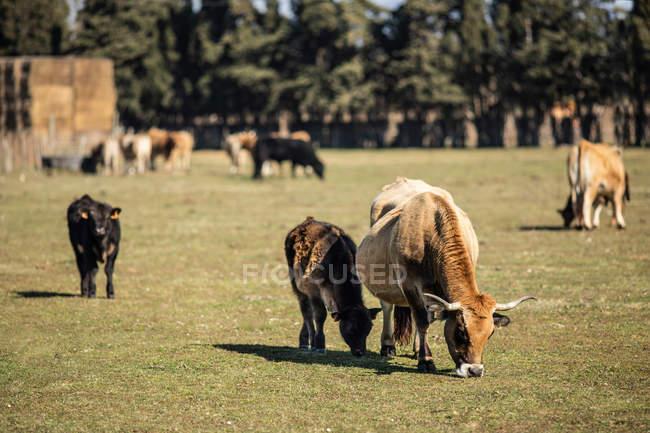 Paisaje de vacas y terneros domésticos de pastoreo en pastos verdes en la granja en verano - foto de stock