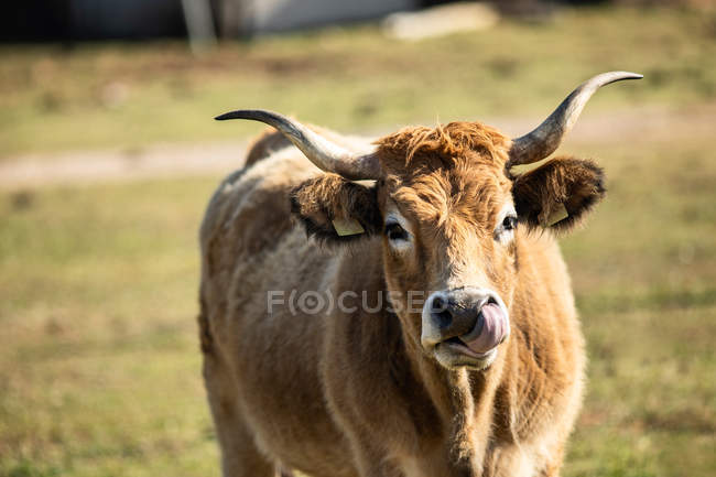 Закрытый портрет домашней коровы с ушными бирками, смотрящей в камеру на пасту — стоковое фото