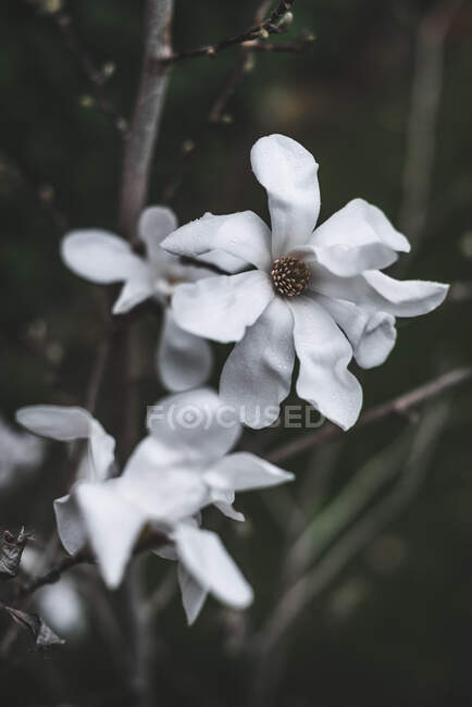White magnolia flower with large petals — Stock Photo