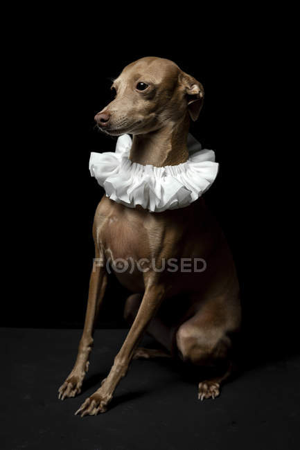 Engraçado pequeno cão galgo italiano vestido com colarinho de ruff branco no fundo escuro, tiro estúdio . — Fotografia de Stock