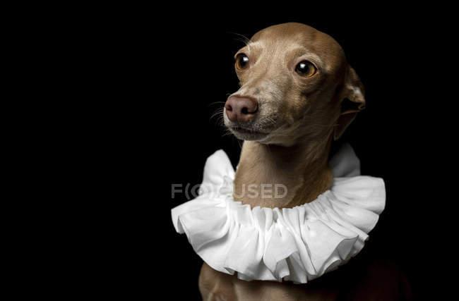 Portrait of brown greyhound dog dressed in white ruff collar on dark background, studio shot. — Stock Photo