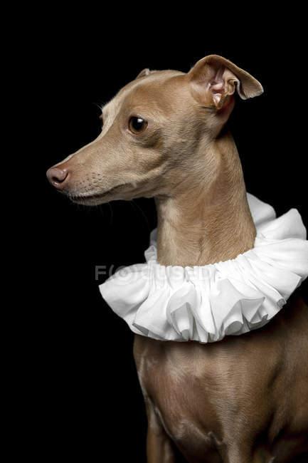 Портрет коричневого собаки, одягненого в білий комір на темному фоні, знімок студії. — стокове фото