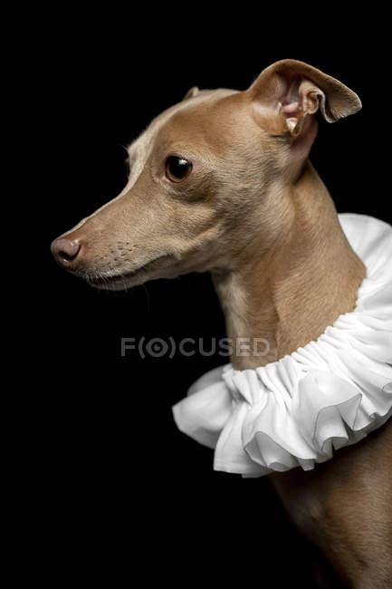 Retrato de cão galgo marrom vestido com gola de ruff branco no fundo escuro, tiro estúdio . — Fotografia de Stock