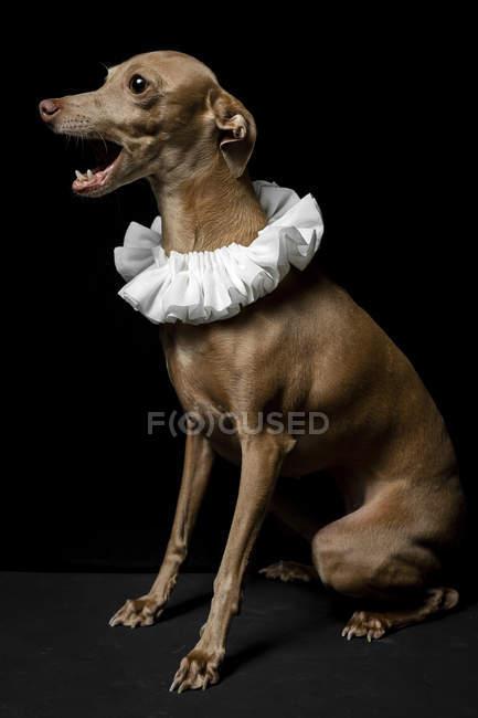 Divertente abbaiare cane Galgo spagnolo vestito con colletto bianco su sfondo scuro, colpo in studio . — Foto stock