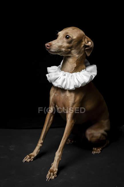 Engraçado pouco espanhol galgo cão vestido no branco gola de ruff no escuro fundo, estúdio tiro . — Fotografia de Stock
