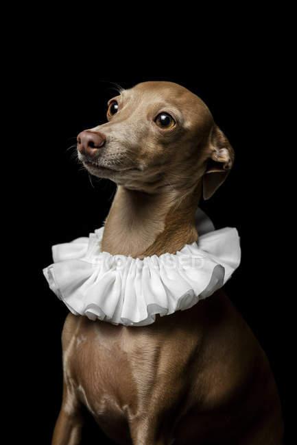 Ritratto di Galgo spagnolo vestito con colletto bianco su sfondo scuro, ripresa in studio . — Foto stock