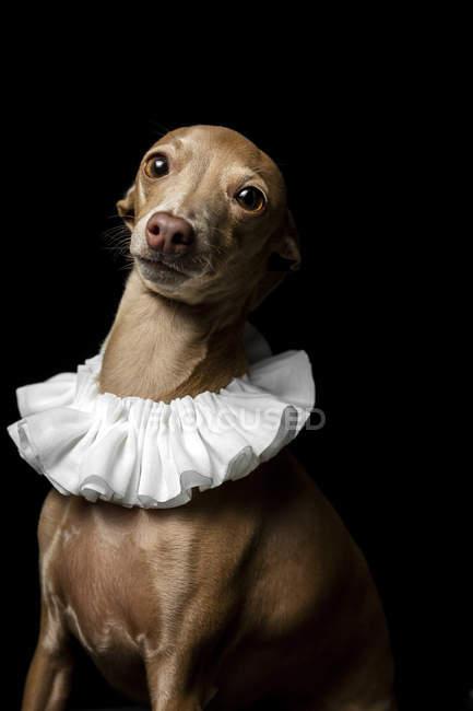 Портрет іспанського Галго, одягненого в білий комір на темному фоні, знімок студії. — стокове фото