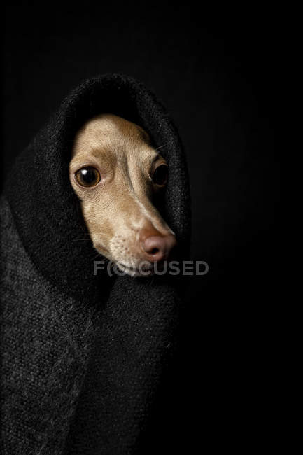 Close-up of Italian greyhound dog disguised in costume on dark background, studio shot. — Stock Photo