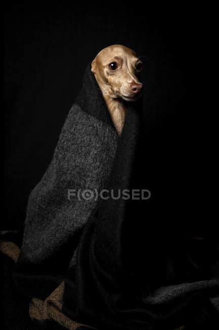 Piccolo cane levriero italiano travestito in costume su sfondo scuro, ripresa in studio . — Foto stock