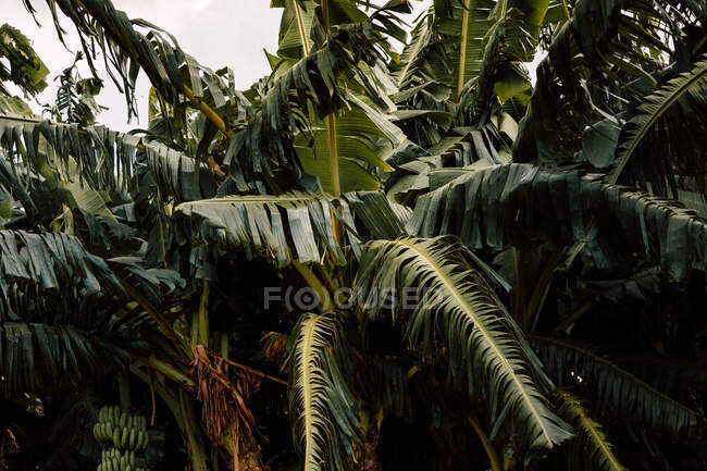 From below of big green foliage of tropical palms with white sky on background in Cuba — Stock Photo