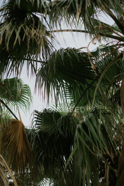 Dal basso delle foglie esotiche verdi secche di palme con cielo grigio nuvoloso su sfondo — Foto stock