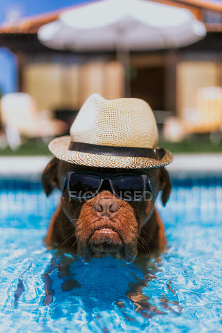 Funny big brown dog in straw hat and sunglasses looking at camera while swimming in pool — Stock Photo