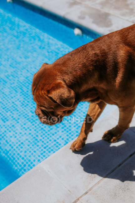 From above brown dog at edge of poll on sunny day — Stock Photo