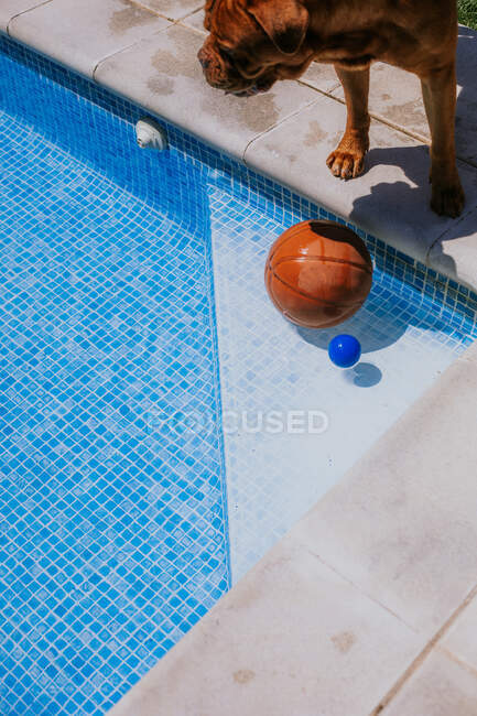 From above of basketball ball in corner of swimming pool and brown dog at edge of poll on sunny day — Stock Photo
