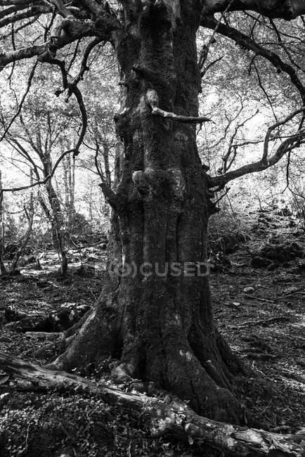 Осенний лесной пейзаж со старым большим деревом в осеннем лесу — стоковое фото