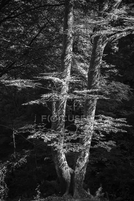 Paisagem de floresta outonal com árvore grande velha em floresta outonal — Fotografia de Stock