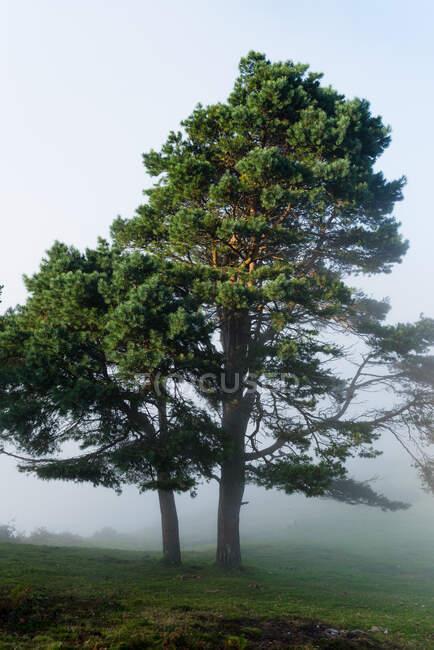 Foresta autunnale nebbioso paesaggio nuvoloso con vecchi grandi alberi nella foresta autunnale — Foto stock