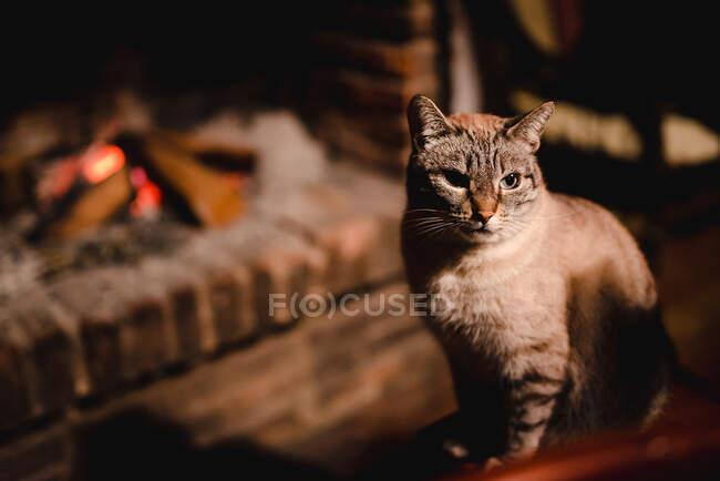 Gato sério adorável com bigode longo e saudável perto do local do fogo em um quarto escuro — Fotografia de Stock