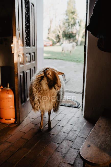Милые шерстяные овцы стоят у открытых дверей загородного дома в солнечный день на ферме — стоковое фото