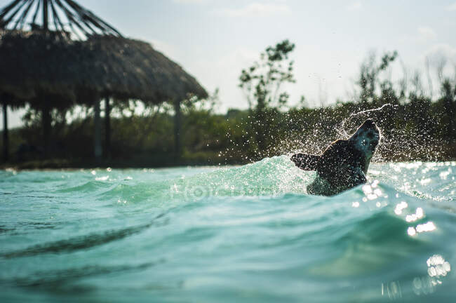 Adorable strong dog enjoying swimming in wavy turquoise water in sunny day — Stock Photo